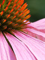 echinacea-fight-cold