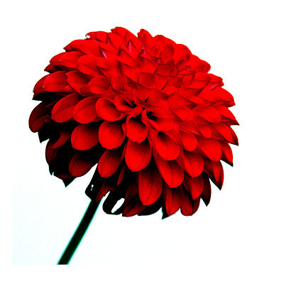 red-flower-close