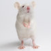 In a Scientific First, Blind Mice Regain Eyesight