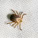 Here's Exactly What to Do IfYou Find a Tick on Your Clothes
