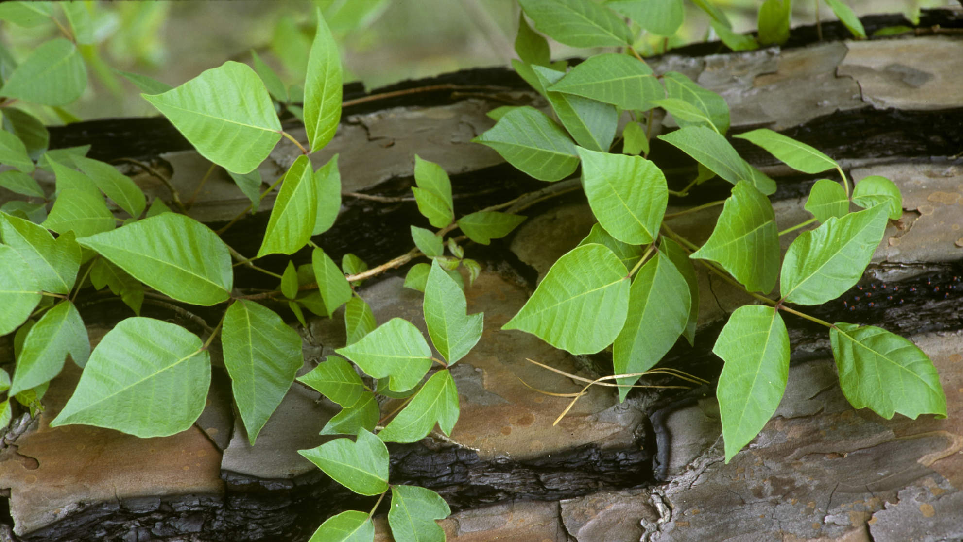 poison-ivy-vine-tree