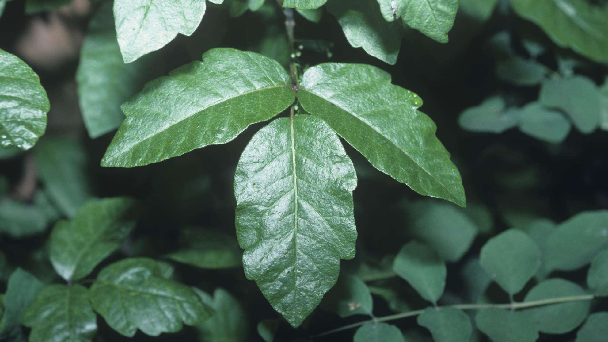 poison-ivy-leaves-bush