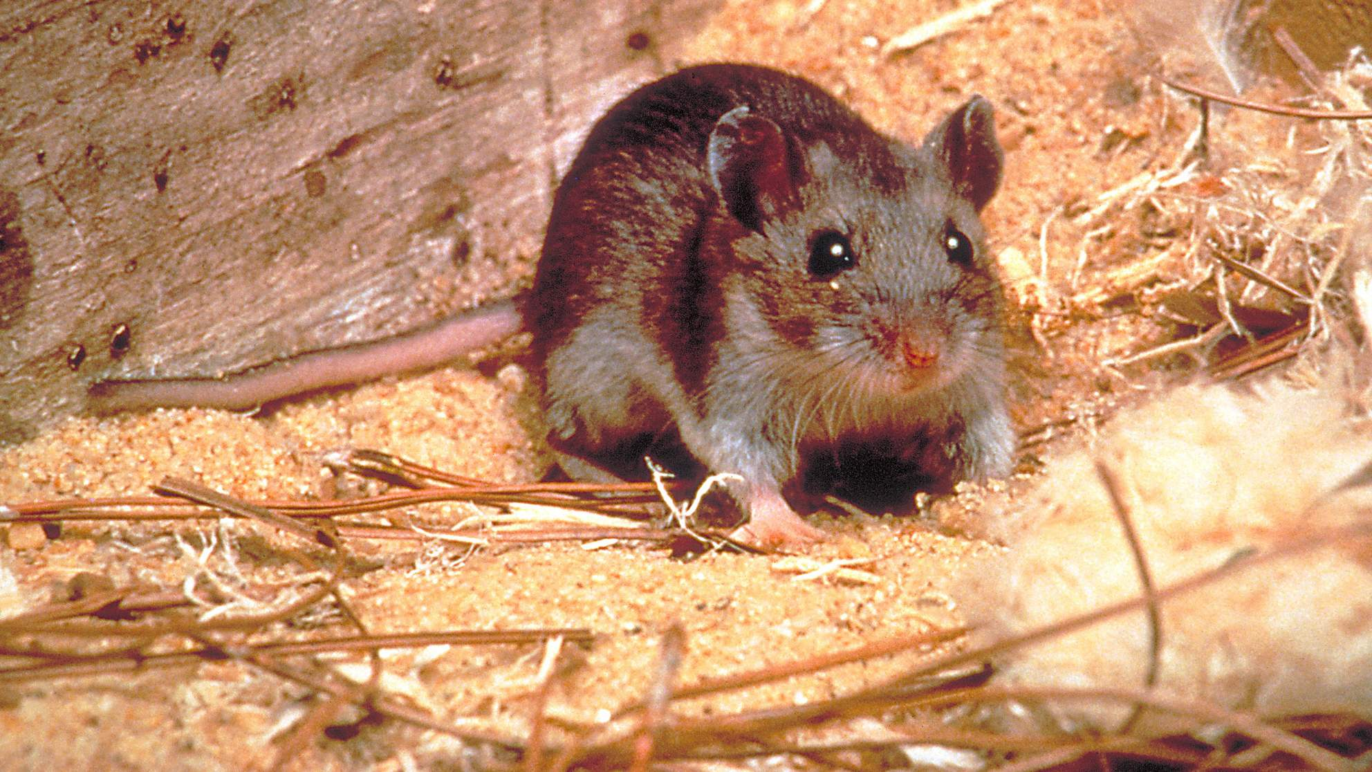 hantavirus-symptoms-prevention-treatment