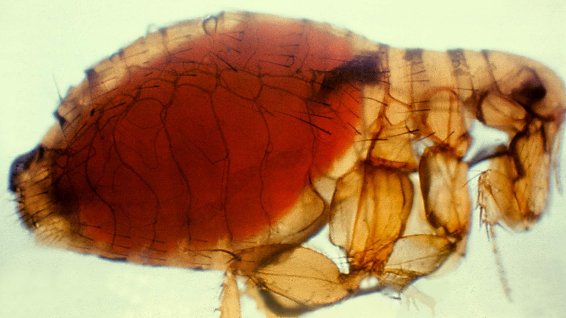 Flea-Borne Typhus Cases Are Rising in Los Angeles. Here's What You Need to Know