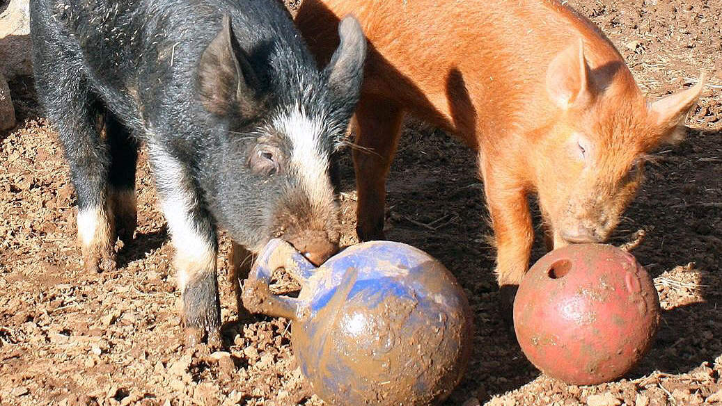 2 Children Diagnosed with Rare Form of Swine Flu After Exposure to Sick Pig at Michigan Fair