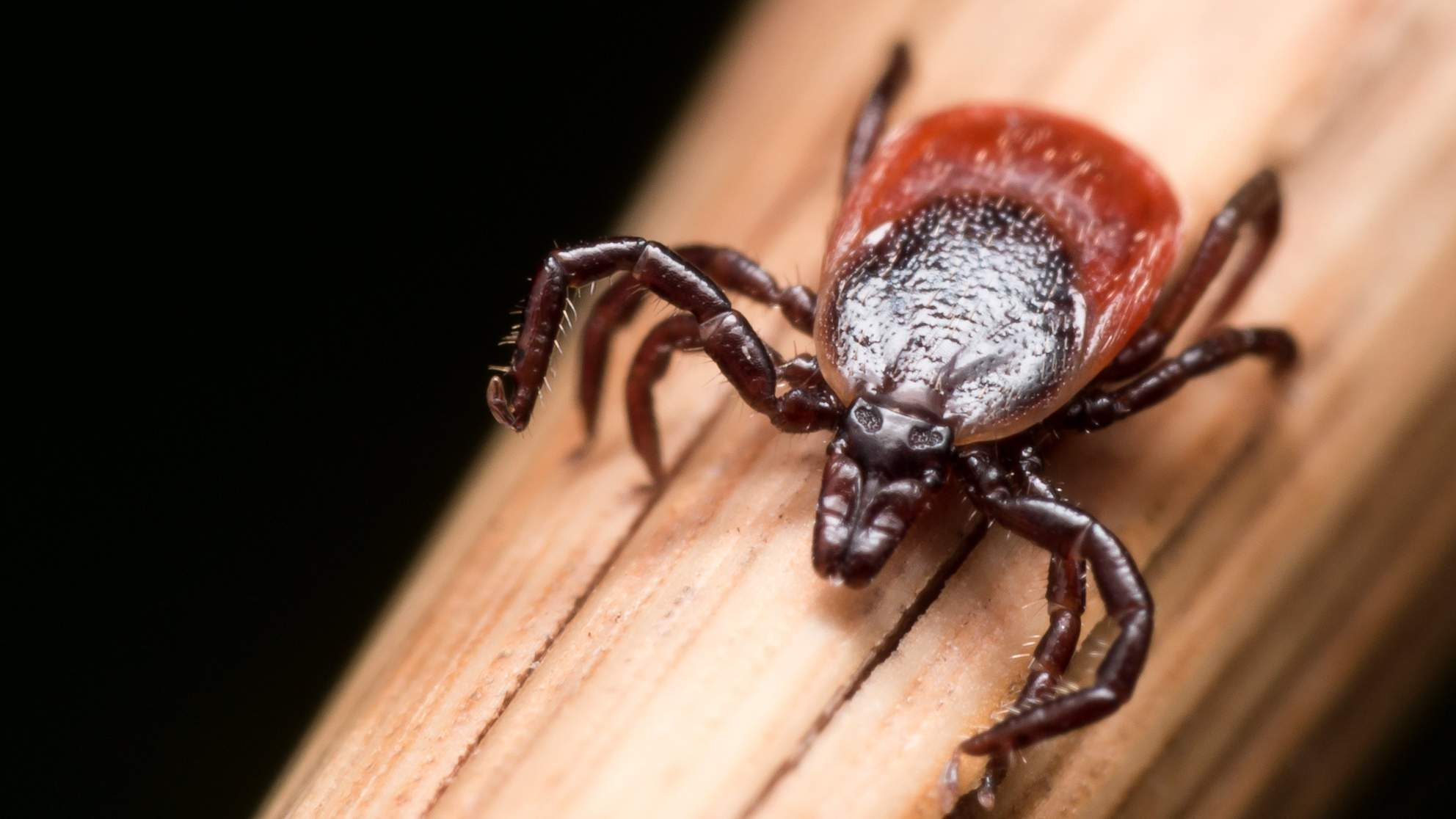 ticks lyme disease