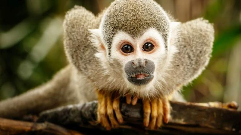 squirrel_monkey126.jpg