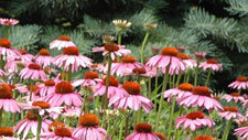 An Update on Echinacea: Do's and Don'ts From Herbalists