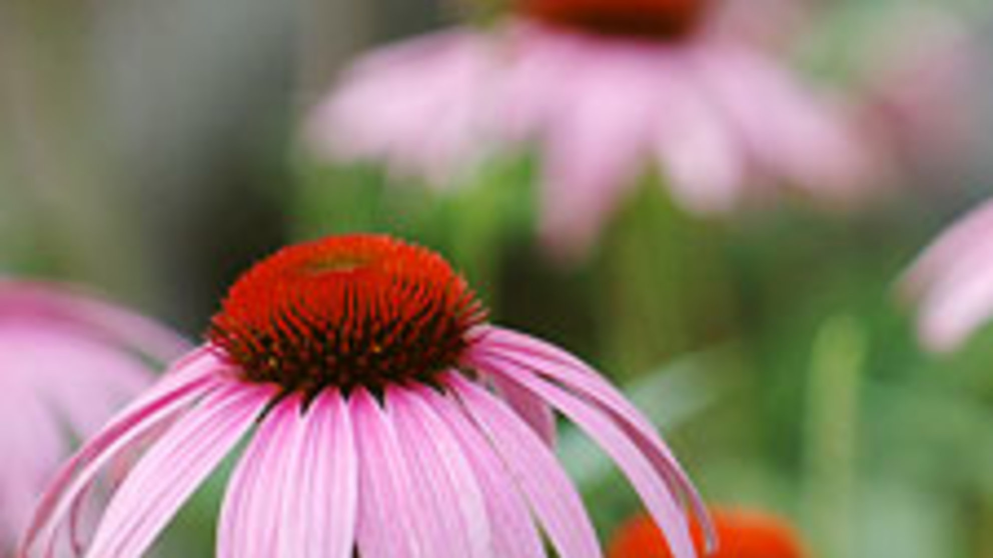 An Update on Echinacea: How to Use It Like a Pro During Sneezy Season
