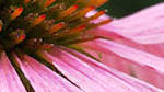How to Use Echinacea Like a Pro During Sneezy Season