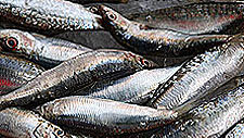 Fishing for Facts: Sardines
