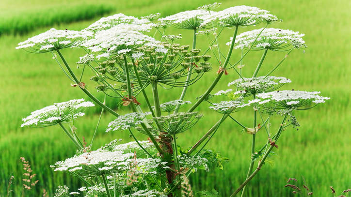 Close-up of a giant hogweed growing in a field of grass