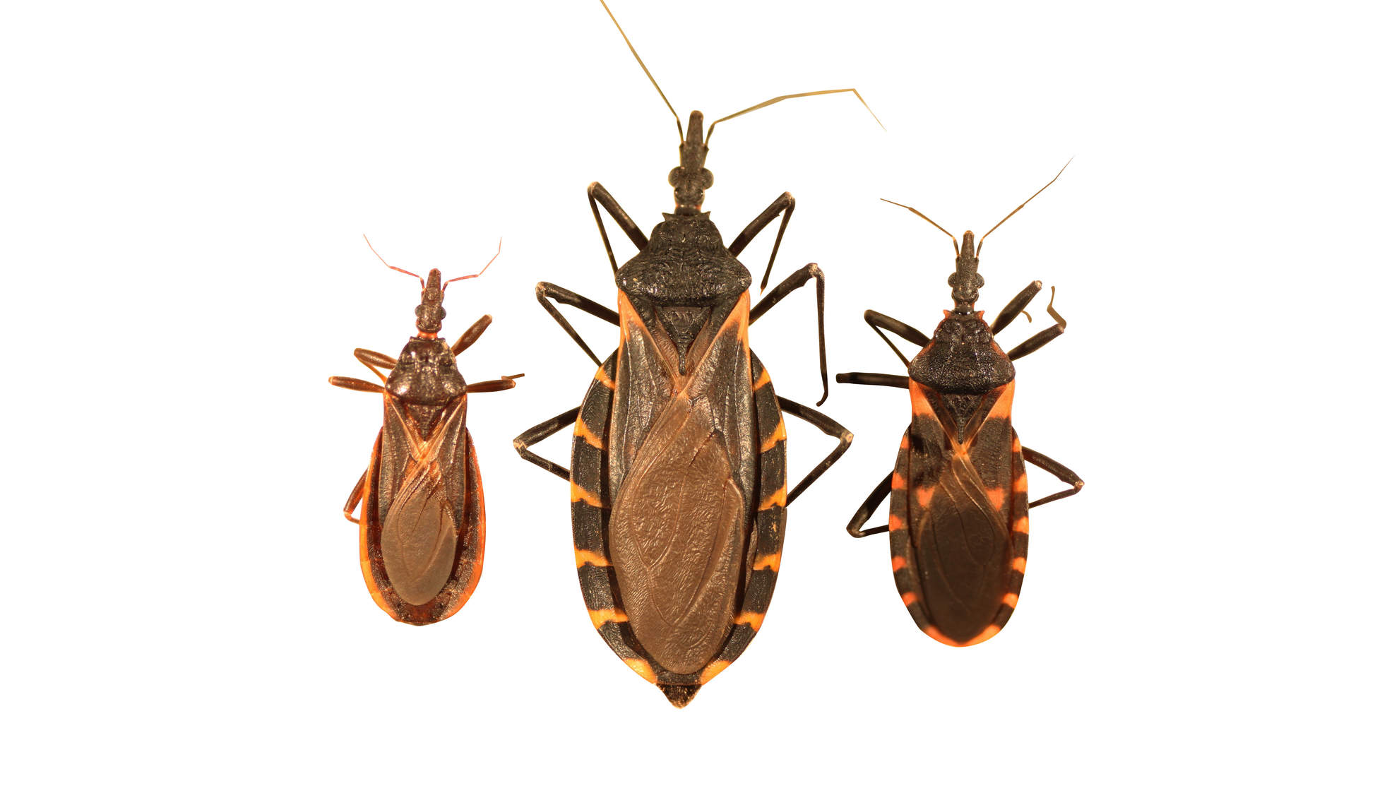 Heart Doctors Are Warning About Chagas Disease, a Fatal Infection Caused by the 'Kissing Bug'