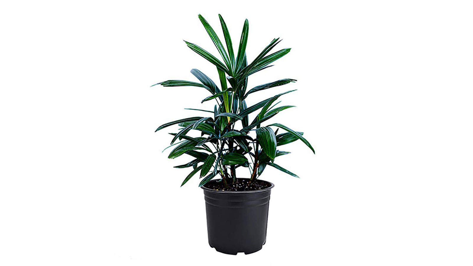 Lady Palm Rhapis Excelsa Indoor/Outdoor Air Purifier Live Plant
