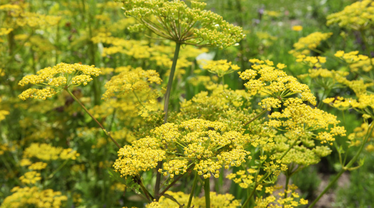 wild-parsnip-burns