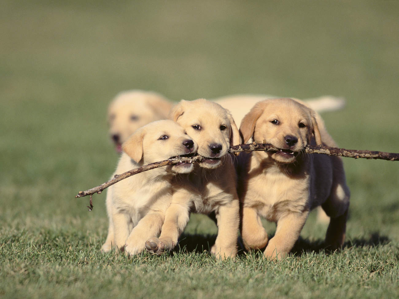 puppies-play-stick-cuteness-overload