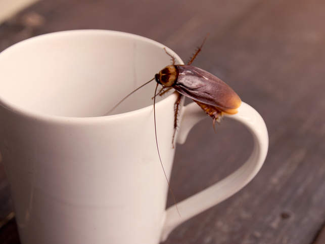 Close up cockroach on white cup cockroach milk