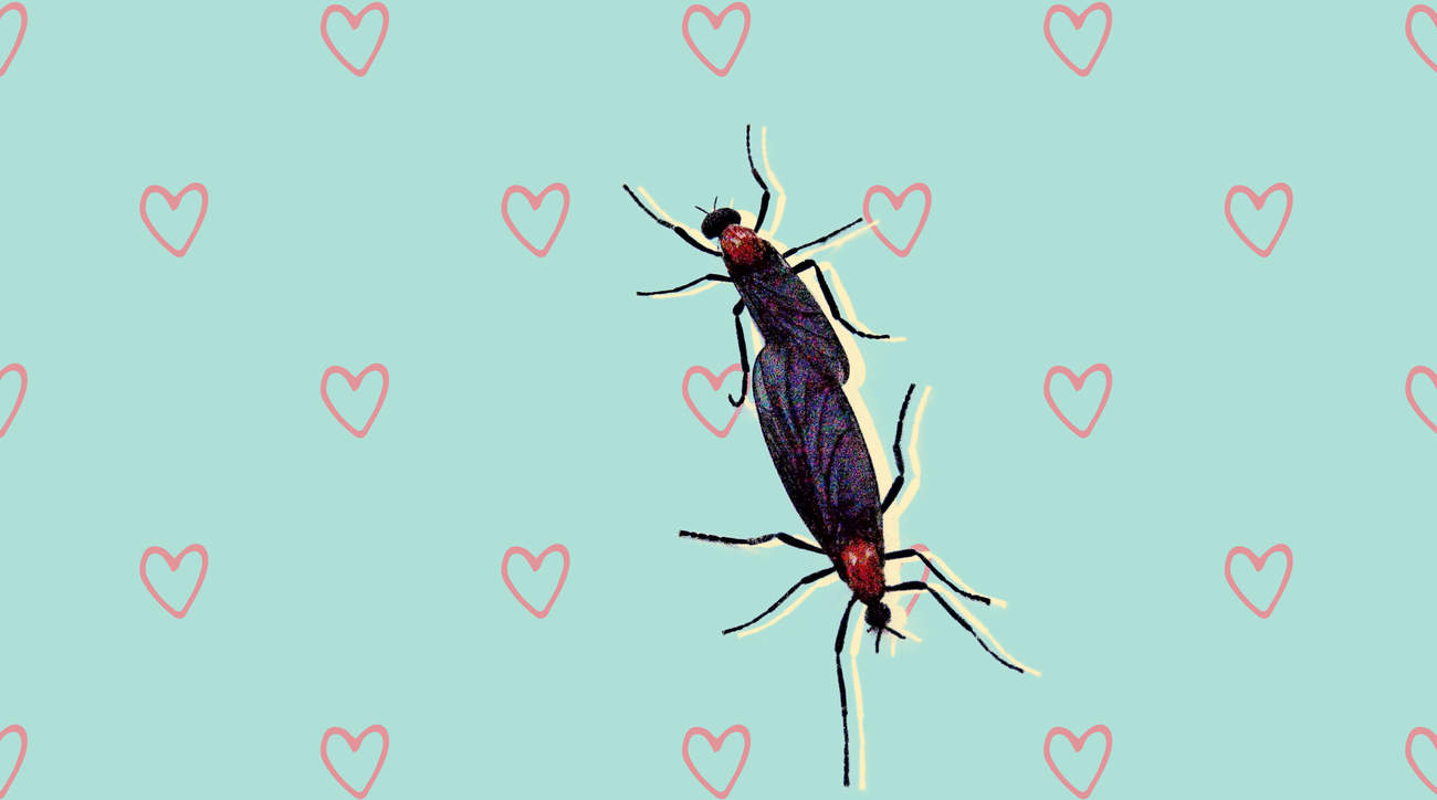 lovebug Plecia-nearctica bug infestation season florida health woman skin