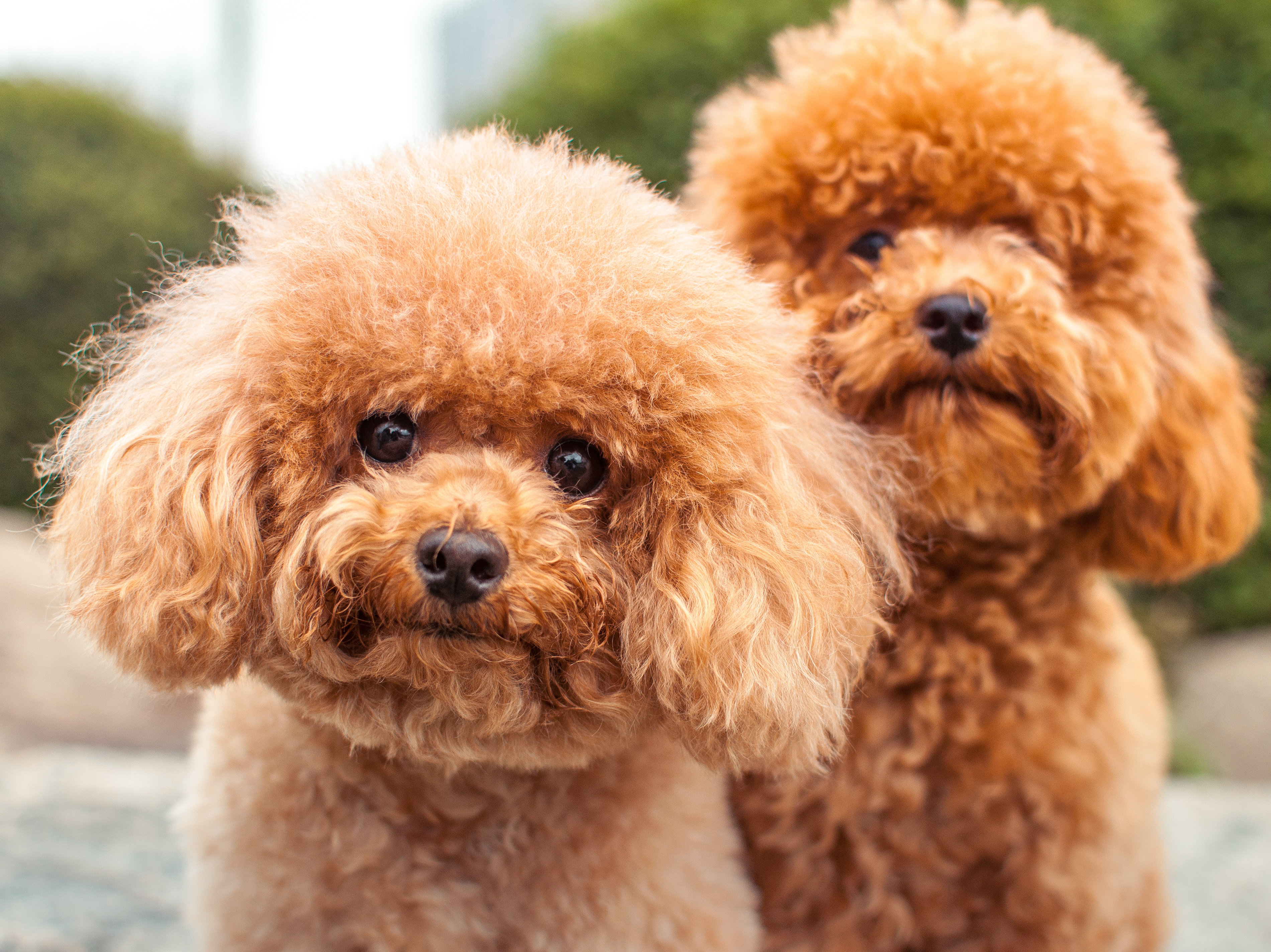 All hypoallergenic dogs with pictures