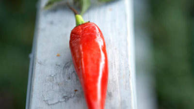 capsicum-pepper