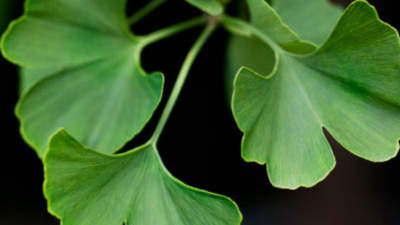 gingko-herb