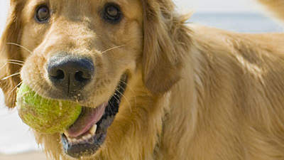 dogs-golden-retriever