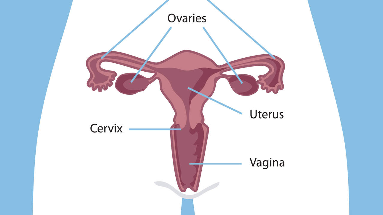 Wait, ovaries and fallopian tubes? Refresh my memory…