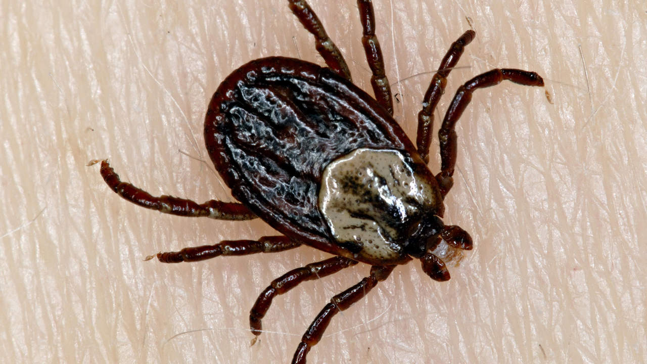 Ticks carry more than just Lyme disease