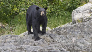 black-bear-nature