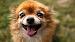 dog-chihuahua-happy-recall-dog-food