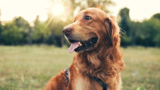 dog-mourning-golden-retriever