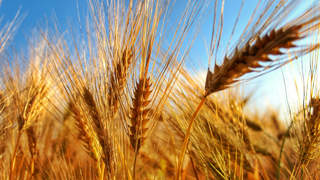 01-celiac-disease-feature-wheat-gluten