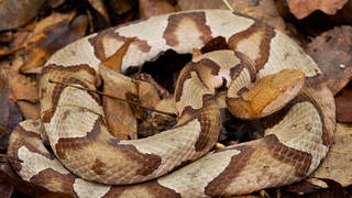 Woman Attacked By a Venomous Copperhead Snake At LongHorn Steakhouse