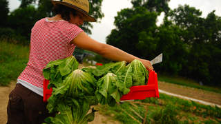 A woman farmer carries a bushel of romaine lettuce heads.