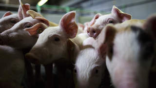 German Hog Farmers Competitive In British Market