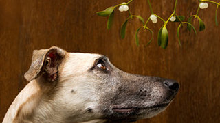 mistletoe-dog
