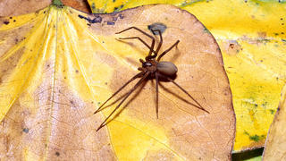 brown-recluse-spider-leaf