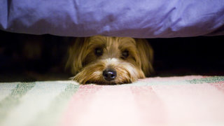 dog-hiding-fireworks-fear