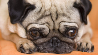 anxiety-pug-dog-scared-cute