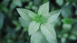 ibs-natural-remedy-peppermint-oil