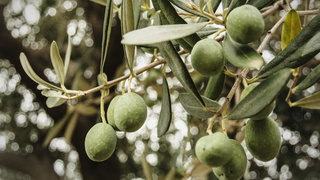 olive-tree-branch