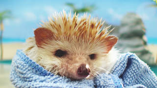 hedge-hog-diabetes-video